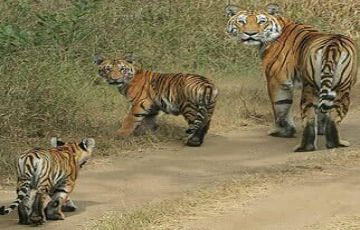central india  Tigers tours