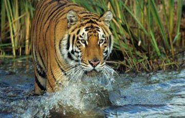 Tiger Trail Tour 14Days/13Nights