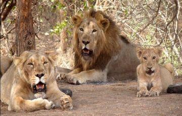 Gir Wildlife Tour Package