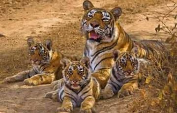 Safari tour of Central India Amazing Tour