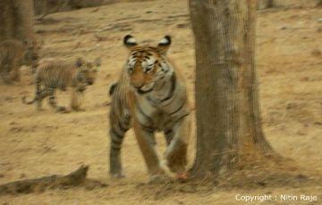 Tiger Trail 2 Nights