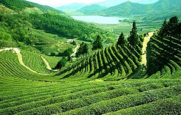 Darjeeling Tea Garden Tours