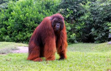 Orangutans Tour in Tanjung Puting National Park