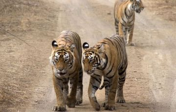 Royal Tiger With Golden Triangle Tour