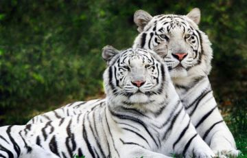 Amazing Golden Triangle With Tiger Tour