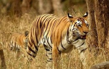 TADOBA NAGZIRA AND PENCH NATIONAL PARK TOUR PACKAGE 2 NIGHTS