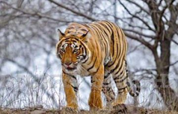 TIGER TOUR PACKAGE 2 NIGHTS AND 3 DAYS