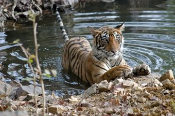HAVE A TRYST WITH THE MAJESTIC INDIAN TIGERS IN RANTHAMBORE