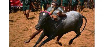 FAMOUS FESTIVALS OF INDIA JALLIKATTU TAMIL NADU