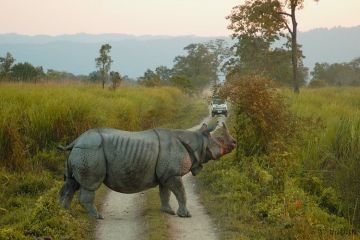 ONE HORNED RHINO SPOTTING IN KAZIRANGA NATIONAL PARK