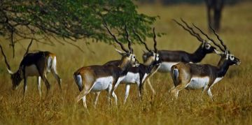 BLACKBUCK RESERVE NATIONAL PARKS AND WILDLIFE SANCTUARIES