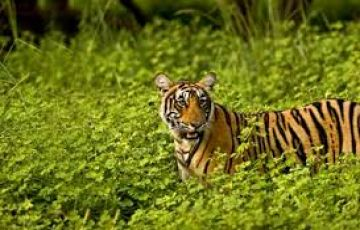 Jungle Tour in Bandhavgarh 02 Nights & 03 Days