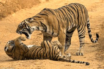 ROARS OF TIGERS OF MP  KANHA NATIONAL PARK
