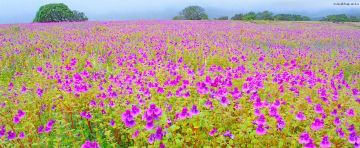 Kaas plateau with Sajjangad and Thoseghar waterfall