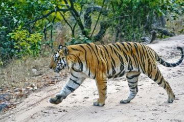 Satpura Safari With Pachmarhi