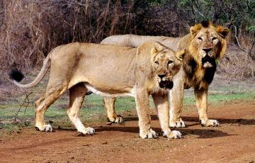 Lion Safari Tour Package
